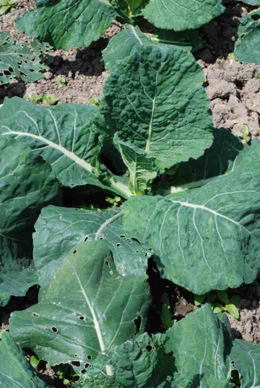 Cabbage 'Samantha'