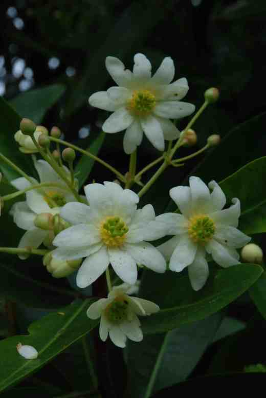 Drimys winteri is showy in bloom and has become huge in the garden