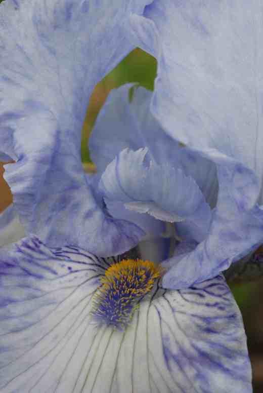 iris gnu blues2