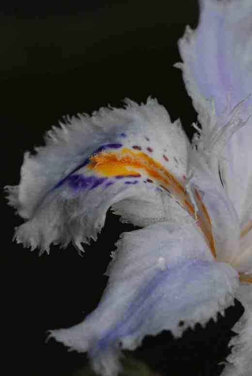 iris jap close 3