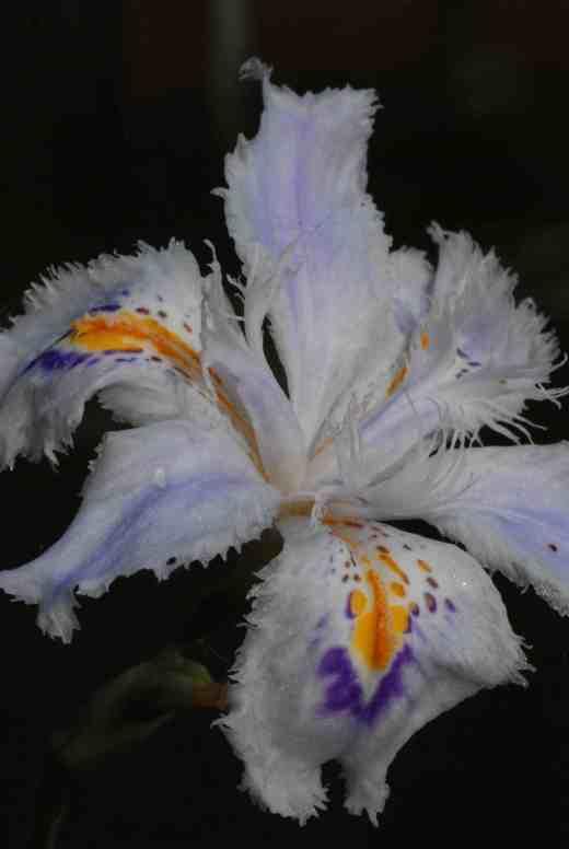 iris jap close