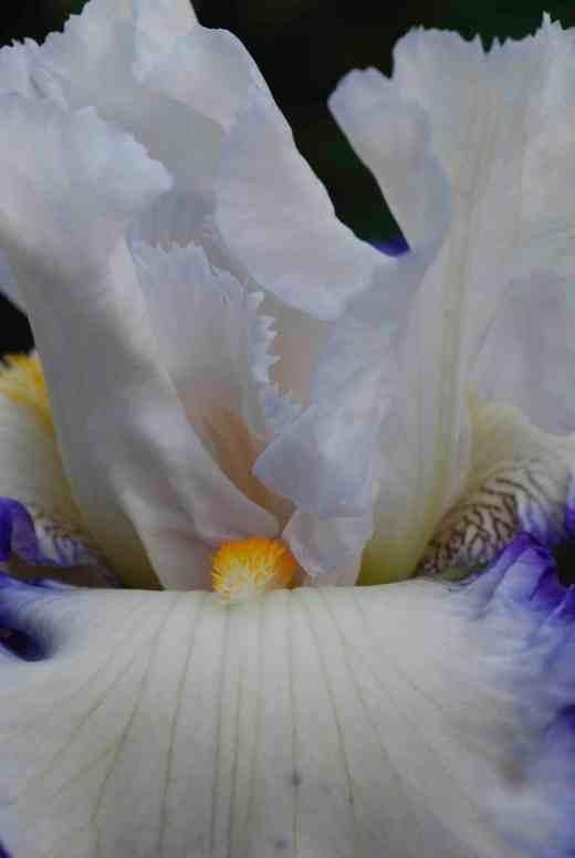 iris queens circle