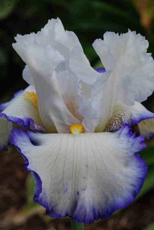 iris queens circlw 2