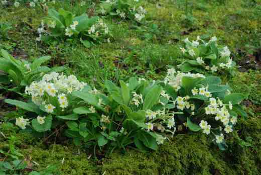 Moss is a bit of a theme  - here it is studded with primroses