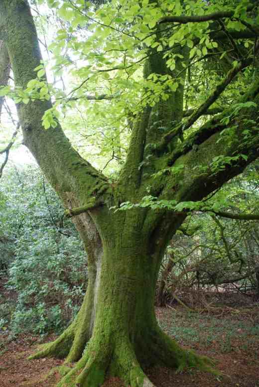 A large, beautiful beech, covered in moss