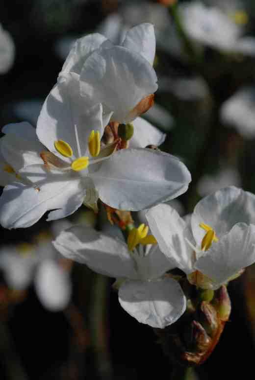 libbertia grandif 2