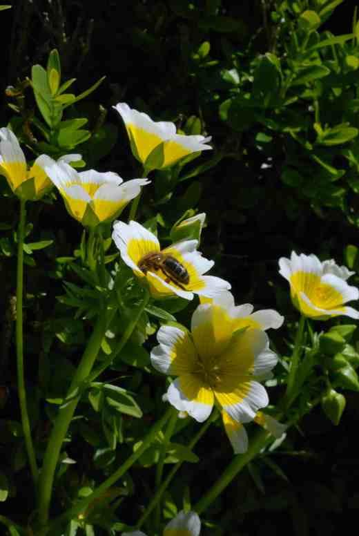 limnanthes dougl3