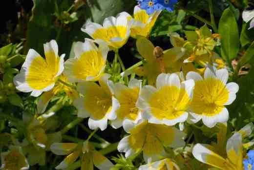 limnanthes dougl5