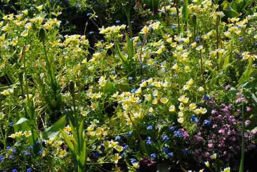 limnanthes dougl6