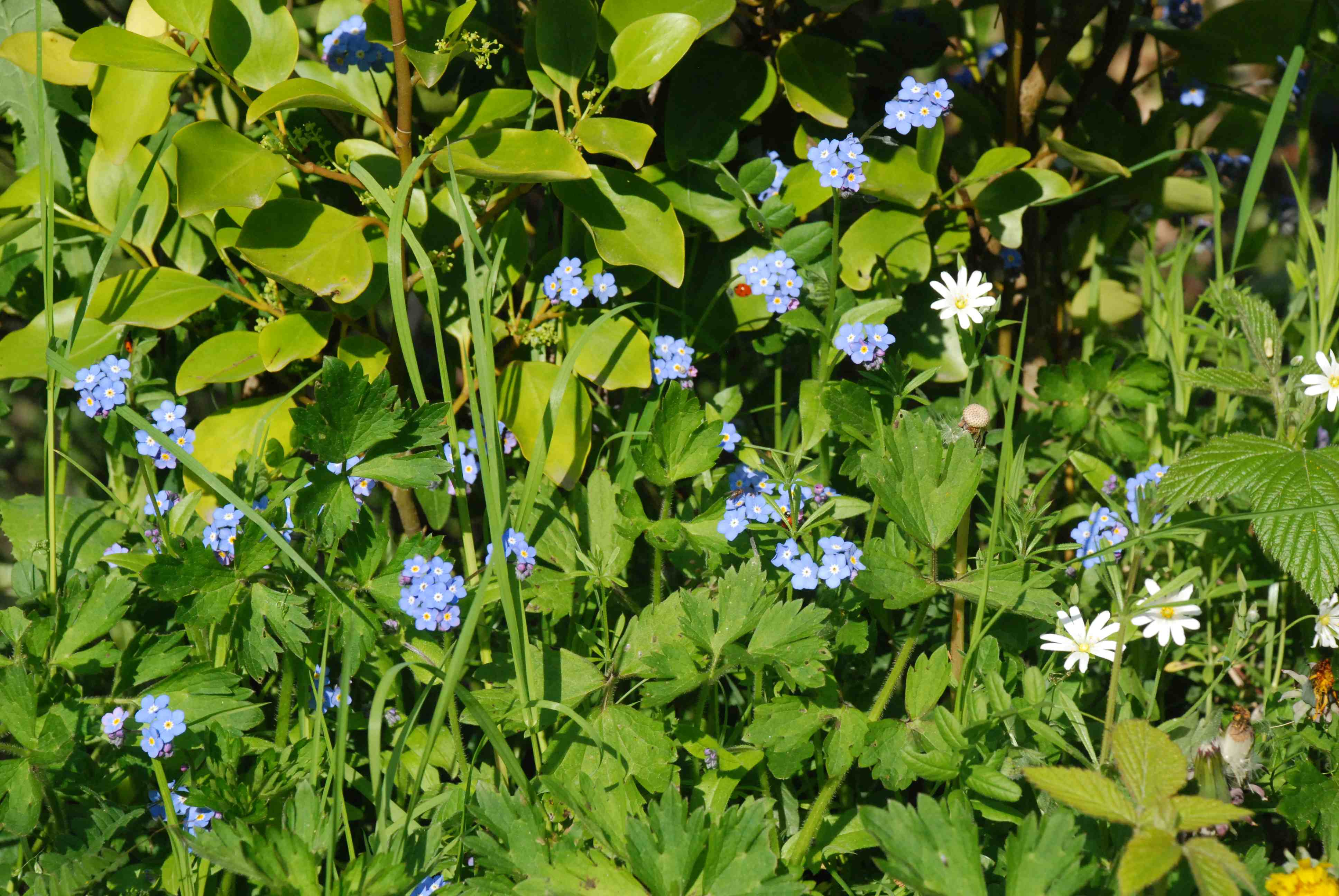 Long-term forget-me-not