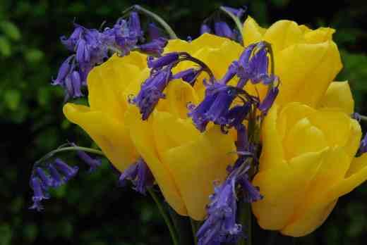 yellow tulips bluebells
