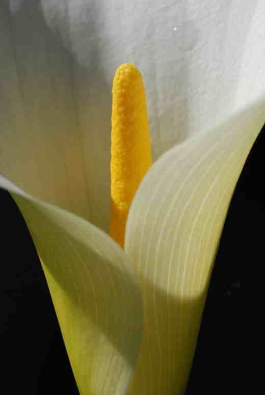 zantedeschia white2