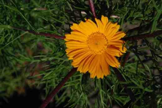 cladanthus arabicus june 14