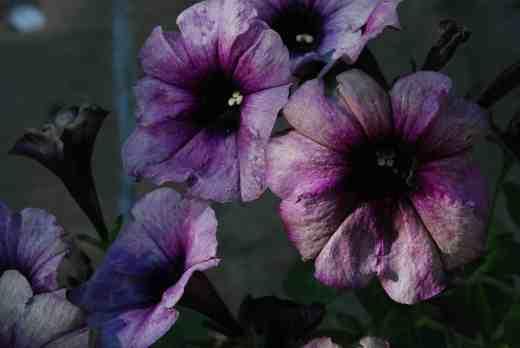 crazytunia twilight blue2