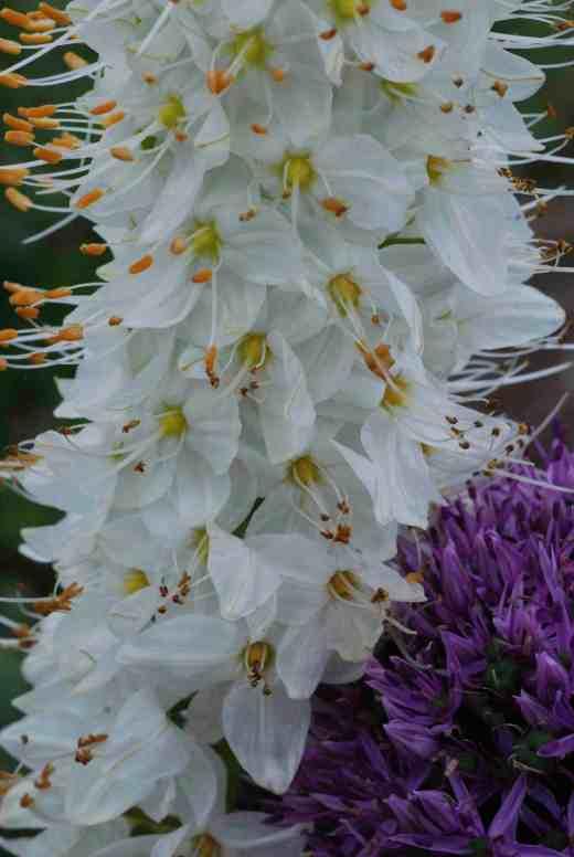 Shorter but still magnificent: Eremurus himalaicus