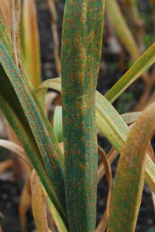 And has masses of unsightly pustules all over the leaves