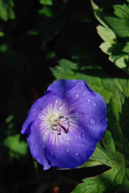 geranium rozanne june 14