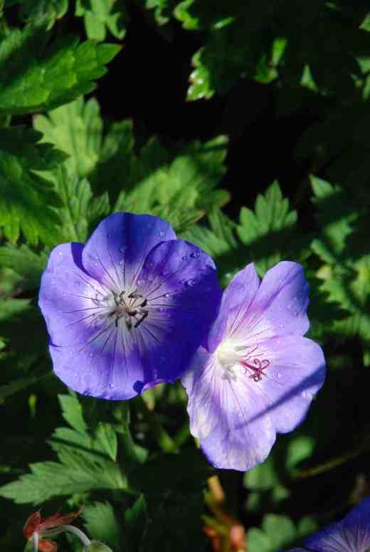 geranium rozanne june 142