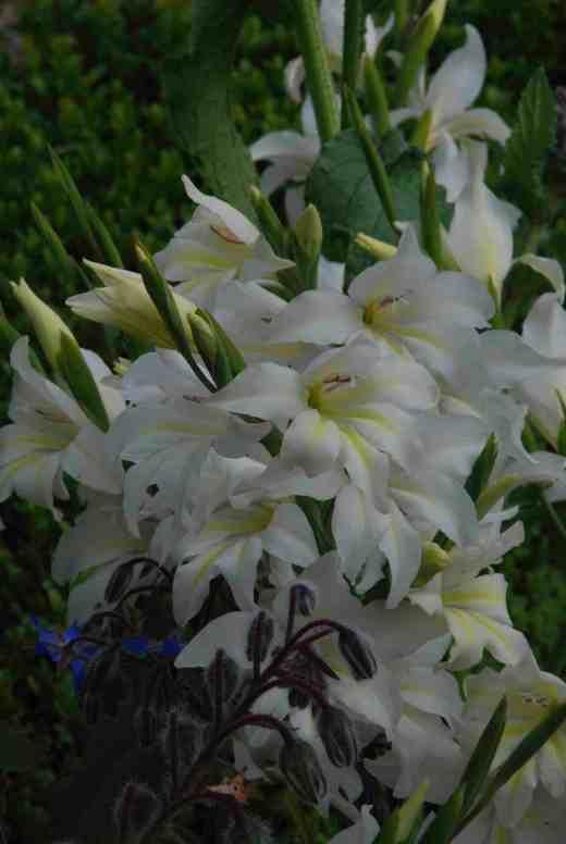 gladiolus thebride june 2414