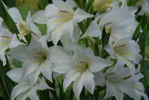 gladiolus thebride june 24142