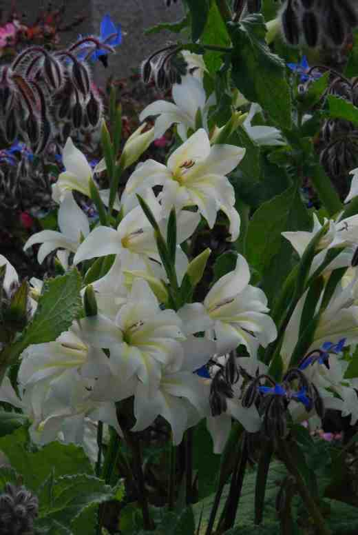 gladiolus thebride june 24145