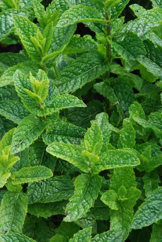 'Moroccan Mint'