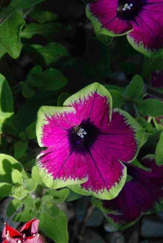 petunia pretty much picasso  june 14