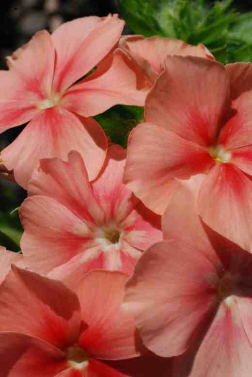 phlox of sheep 3
