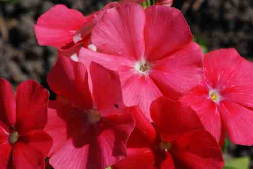 phlox of sheep 4