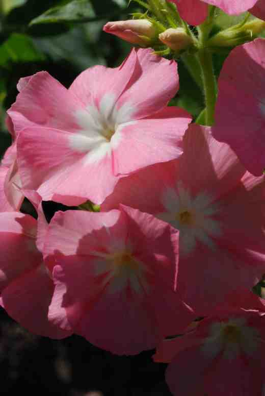 phlox of sheep 5