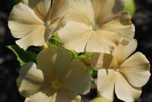 phlox of sheep 6