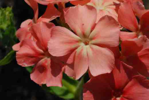 phlox of sheep
