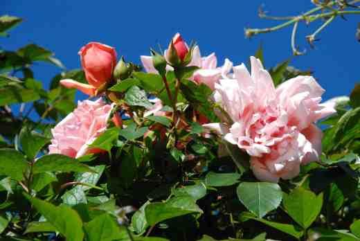 rose albertine june