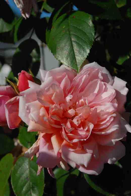 rose albertine june2