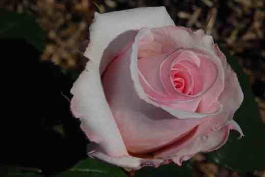 rose belmont
