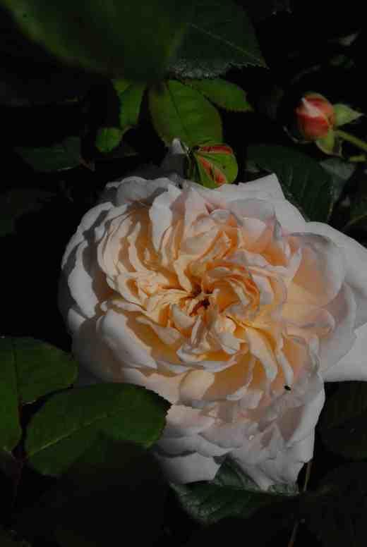 rose champagne mon