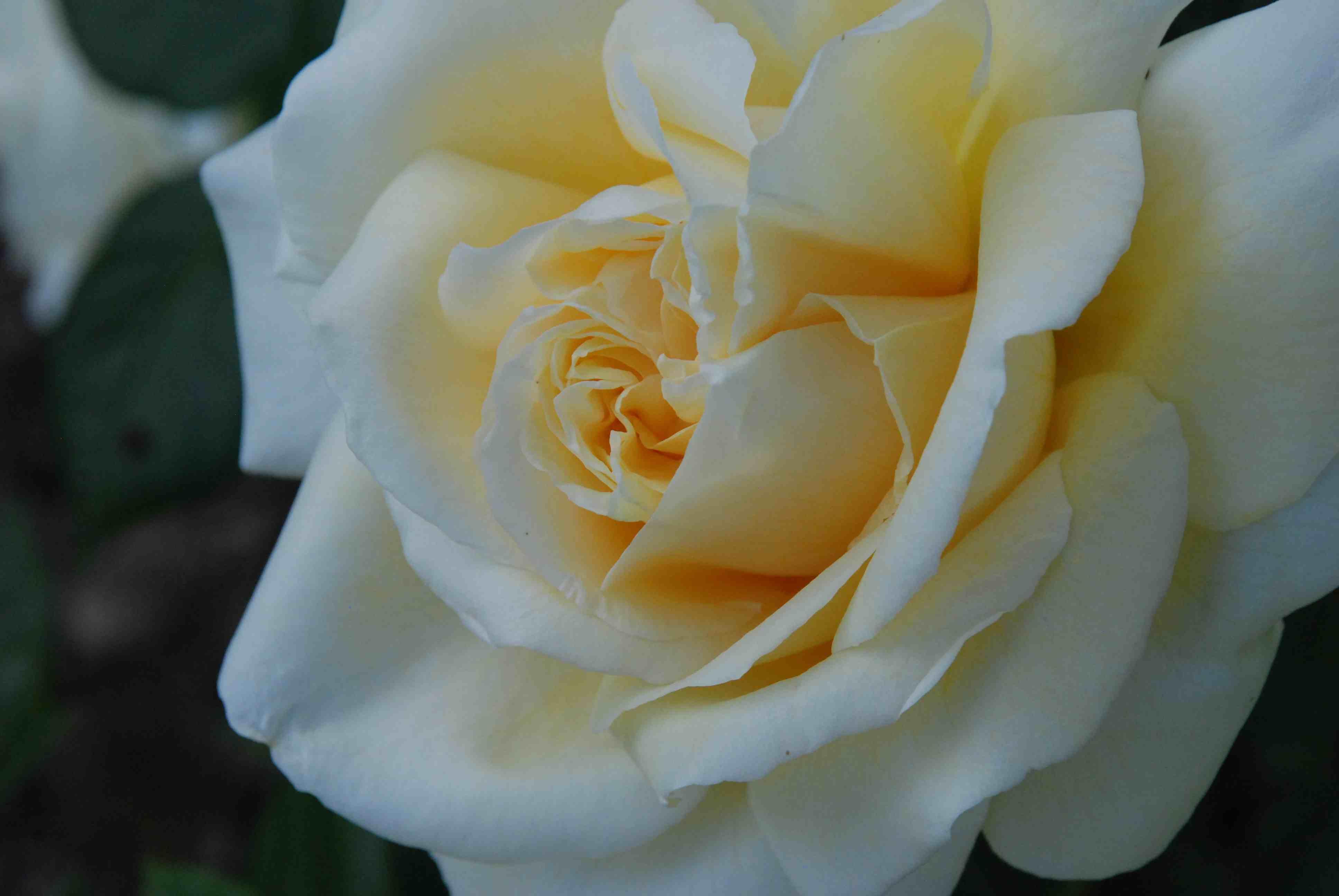 Rose 39Creme de la Creme39  The Biking Gardener