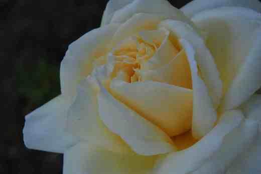 rose creme de la creme june 142