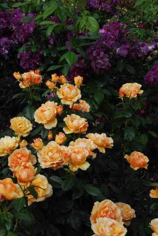 rose easy going  june 14