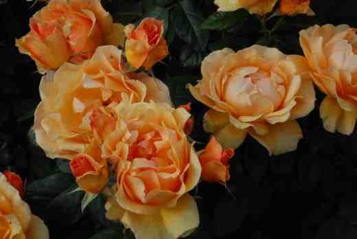rose easy going2 june 14
