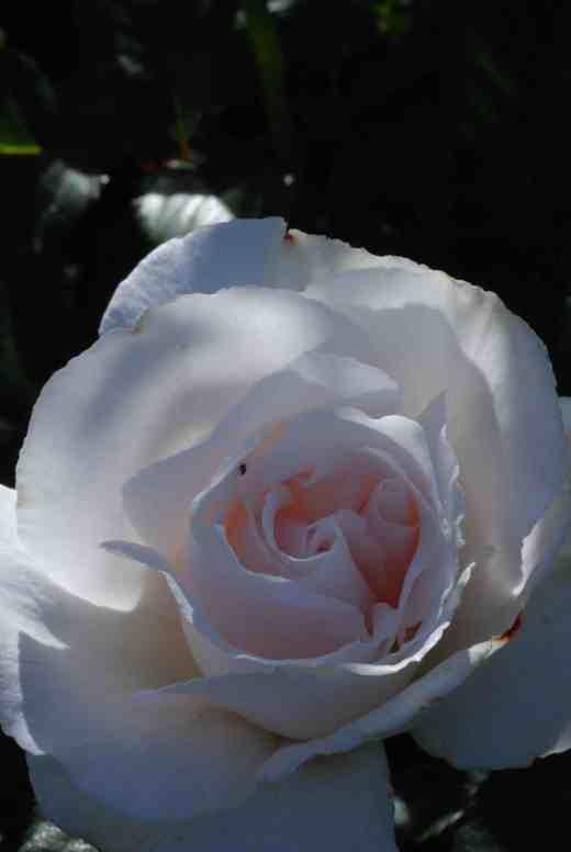 rose margeart merril