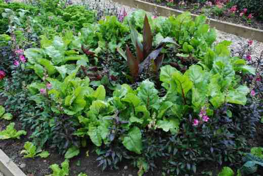 Perilla is a pretty herb with a strange taste - here planted with canna and antirrhinums surrounded by beet