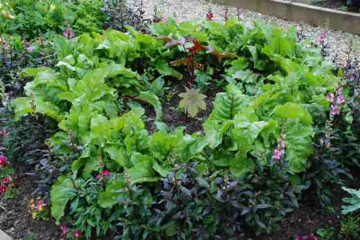 Ricinus is poisonous but should look impressive by the time the cauliflowers have filled in