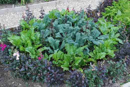 'Nero di Toscana' kale is a useful crop that can be picked for many months and is attractive. It is sometimes called palm kale as well as a plethora of other names