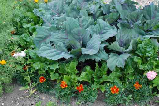 'Kalibos' is a great cabbage for summer. It is a pointed red cabbage that is perfect for coleslaw