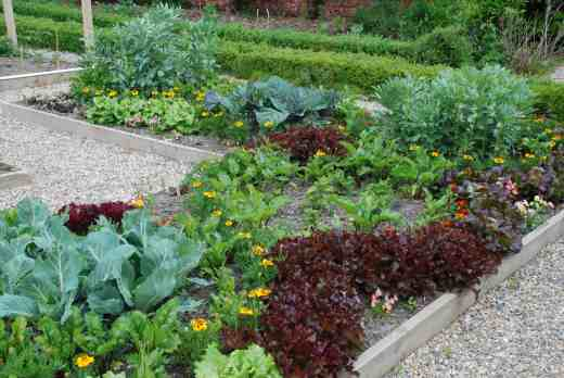 Lines of French marigolds - 'Naughty Marietta' and 'Scarlet Sophie' run through the beds