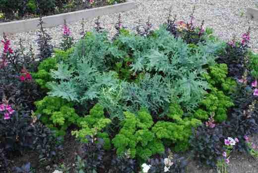A mix of 'Peacock' kale and 'Bolshoi' kale with pelargonium 'Lord Bute' surrounded by parsley