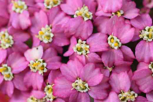 They may look like some exotic tropical bloom or a strange euphorbia but these are just the blooms of achillea - as seen by a bee