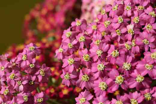 achillea flowerburst cut14
