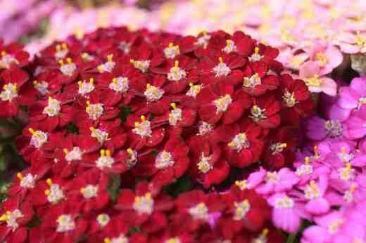 achillea flowerburst cut4